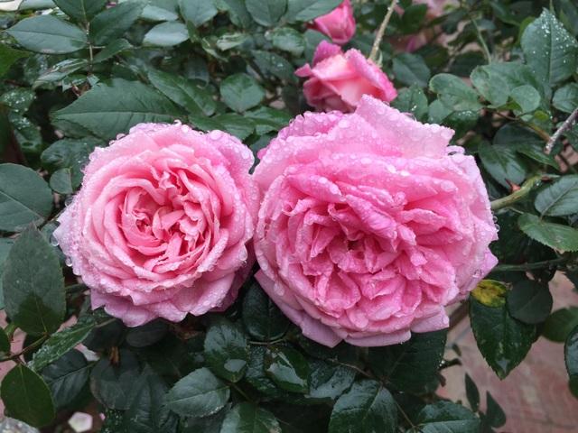 Chán đào quất, nhiều người dân mua hoa hồng cổ Sa Pa chơi Tết - 1