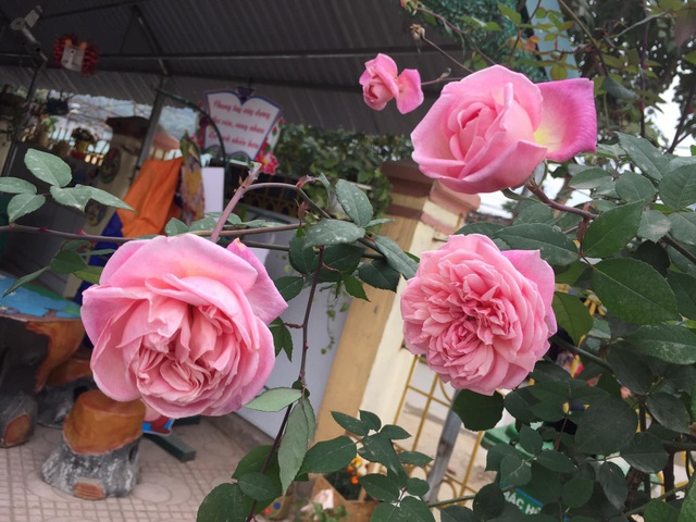 Chán đào quất, nhiều người dân mua hoa hồng cổ Sa Pa chơi Tết - 4