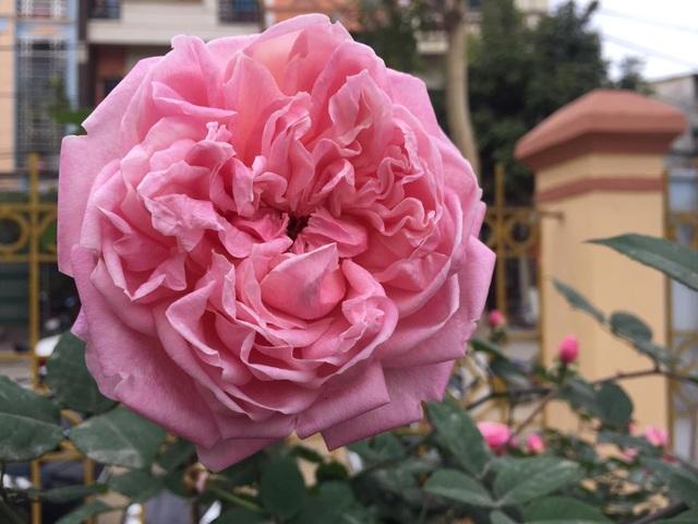 Chán đào quất, nhiều người dân mua hoa hồng cổ Sa Pa chơi Tết - 3