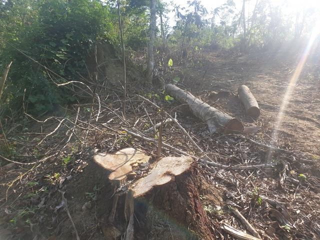 Cận cảnh cánh rừng phòng hộ bị cán bộ câu kết bán non - 3