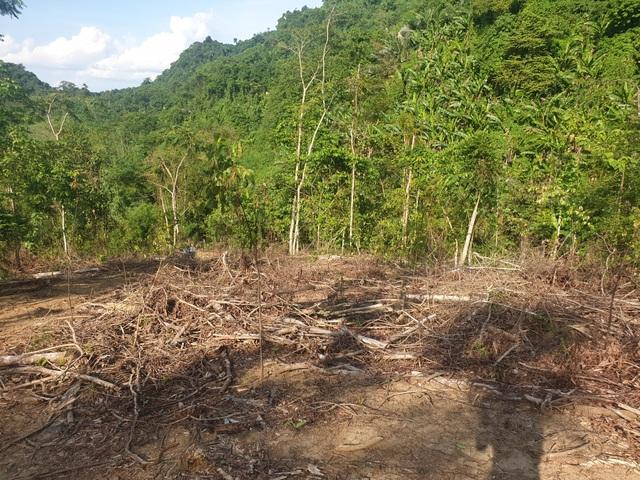 Cận cảnh cánh rừng phòng hộ bị cán bộ câu kết bán non - 1