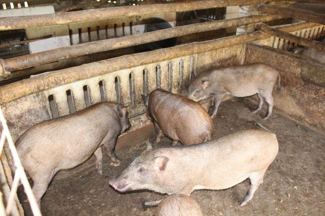 Cuối năm, người nuôi lợn rừng, chim trĩ ở Nam Định đắt khách - 1