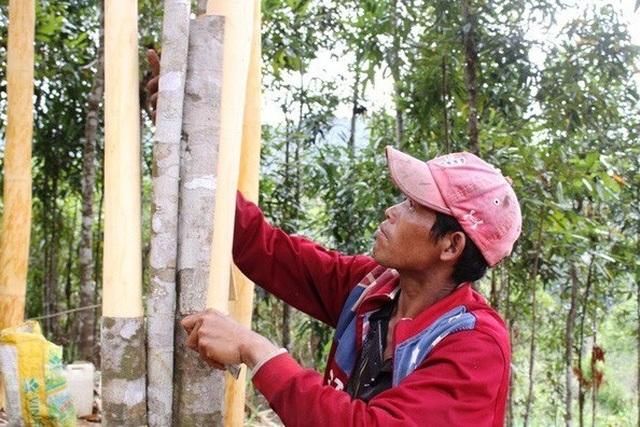 Quảng Ngãi: Đôi vợ chồng trẻ khởi nghiệp từ loài cây thơm lừng, cay nồng - 2