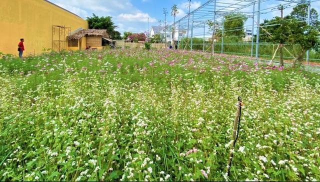 Chiêm ngưỡng vườn hoa tam giác mạch giữa đất Tây Đô - 1