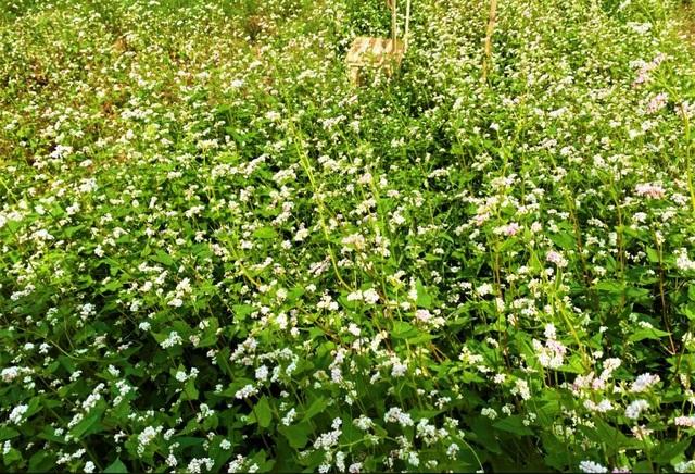 Chiêm ngưỡng vườn hoa tam giác mạch giữa đất Tây Đô - 2
