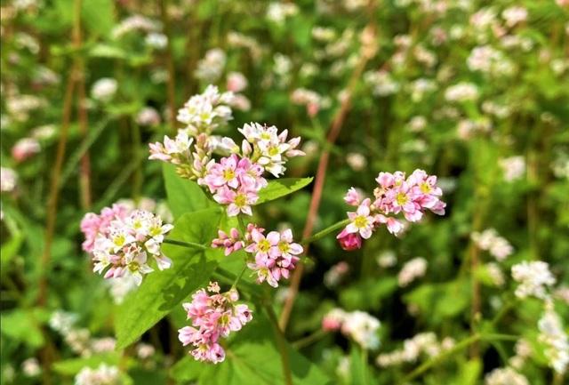 Chiêm ngưỡng vườn hoa tam giác mạch giữa đất Tây Đô - 4
