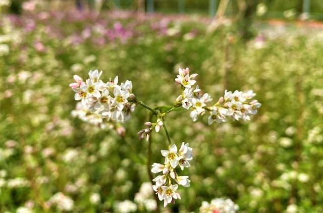 Chiêm ngưỡng vườn hoa tam giác mạch giữa đất Tây Đô - 5