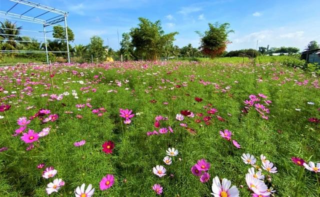 Chiêm ngưỡng vườn hoa tam giác mạch giữa đất Tây Đô - 8
