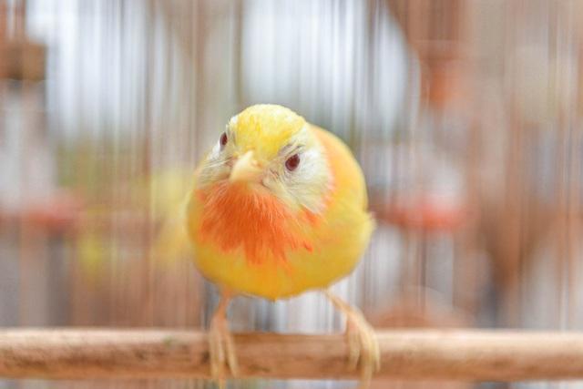 Tay cầm tiền tỷ, đại gia cũng không mua nổi chim ngũ sắc độc nhất Việt Nam - 5