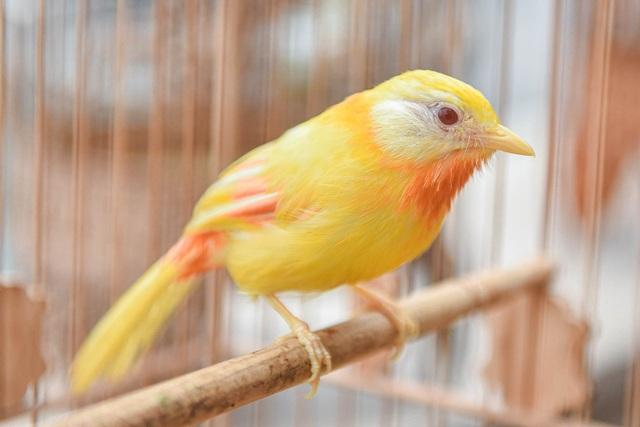 Tay cầm tiền tỷ, đại gia cũng không mua nổi chim ngũ sắc độc nhất Việt Nam - 4