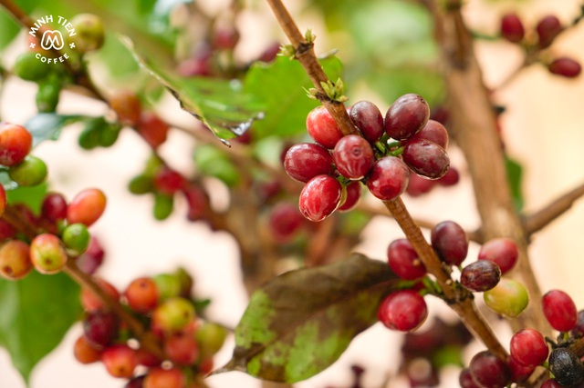 Cành cà phê tươi từ Sơn La về Thủ đô ăn Tết - 2