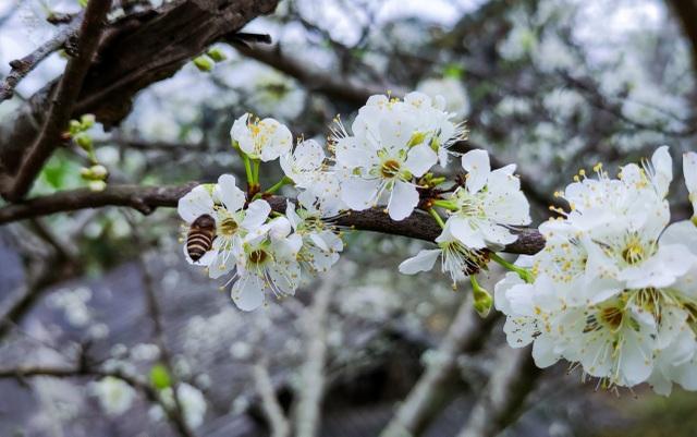 Lên cổng trời Mường Lống ngắm hoa mận bung nở đầu xuân - 16