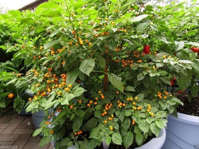 Loại ớt siêu đắt đỏ nửa tỷ đồng một kg, cay tới mức gây thủng lưỡi - 4