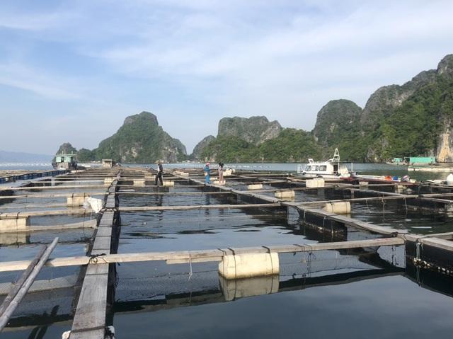 Ế 520 tấn cá song, 6.000 tấn hàu tại vựa hải sản Vân Đồn - 3