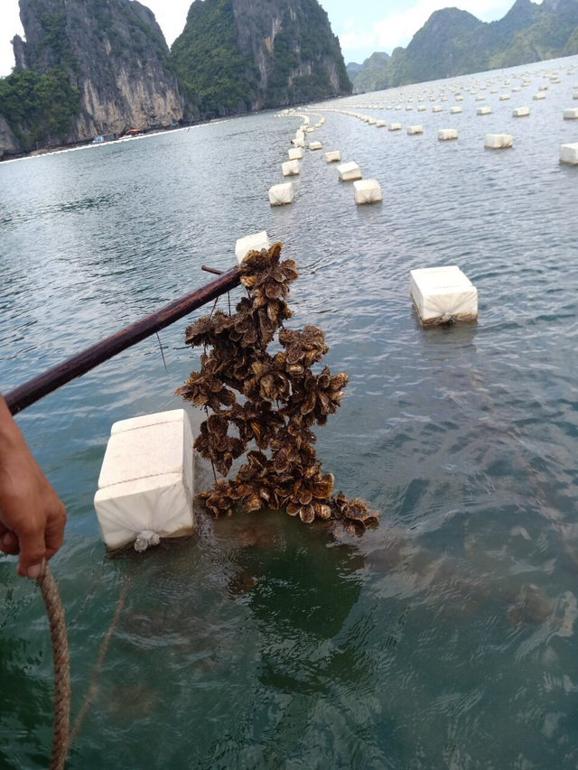 Ế 520 tấn cá song, 6.000 tấn hàu tại vựa hải sản Vân Đồn - 7