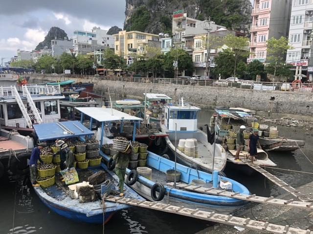 Ế 520 tấn cá song, 6.000 tấn hàu tại vựa hải sản Vân Đồn - 8