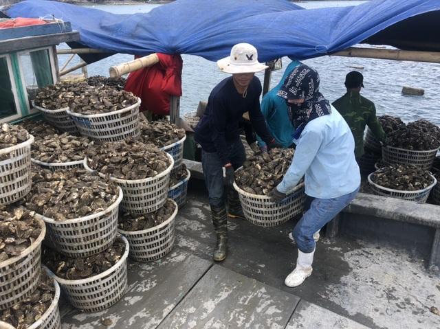 Ế 520 tấn cá song, 6.000 tấn hàu tại vựa hải sản Vân Đồn - 6