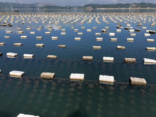 Ế 520 tấn cá song, 6.000 tấn hàu tại vựa hải sản Vân Đồn - 2