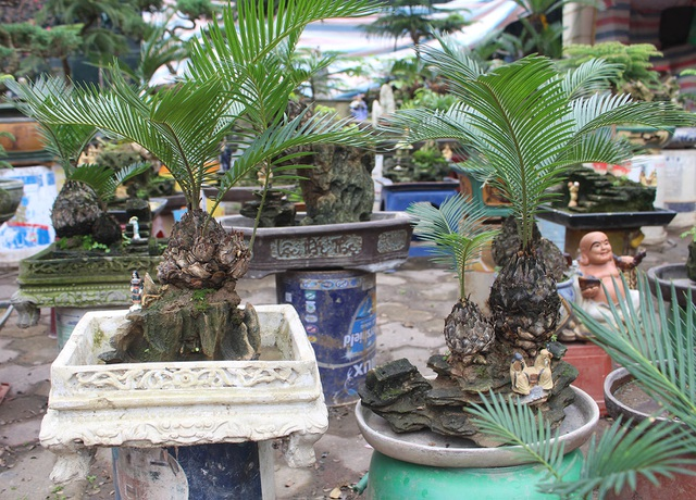 Chán mai, ngán đào, nhiều thượng đế săn lùng mua vạn tuế bonsai chơi Tết - 8