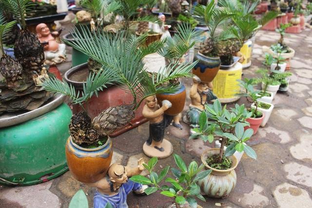 Chán mai, ngán đào, nhiều thượng đế săn lùng mua vạn tuế bonsai chơi Tết - 9