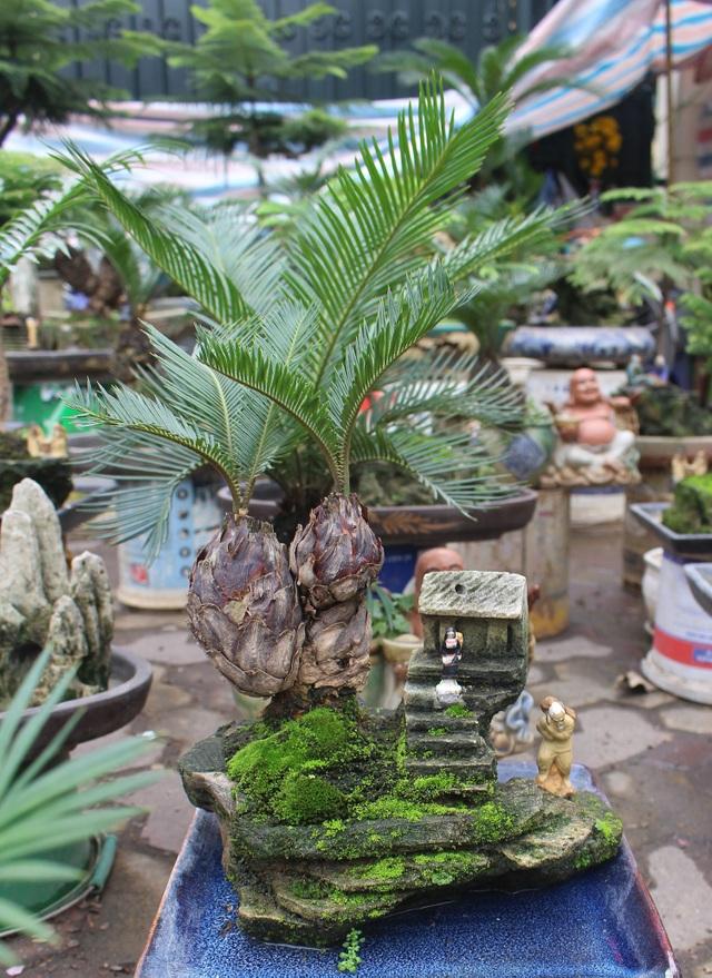 Chán mai, ngán đào, nhiều thượng đế săn lùng mua vạn tuế bonsai chơi Tết - 3