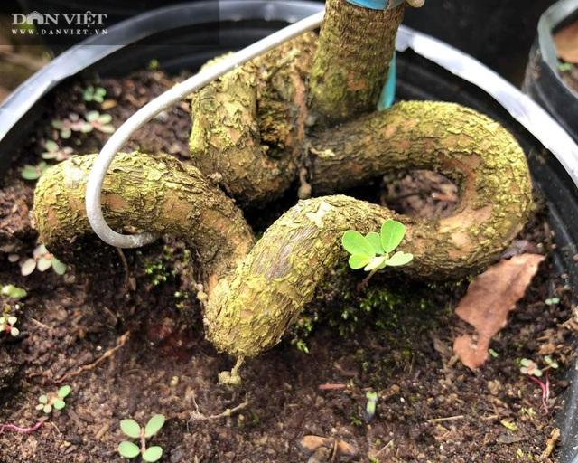 Sáng chế thế con rắn cuộn gốc mai vàng, bán đắt hàng, nhẹ nhàng đút túi 300 triệu đồng/năm - 7