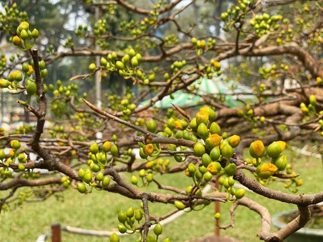 TP.HCM: Độc nhất vô nhị cây mai nở cùng lúc hai màu hoa trắng và vàng - 9