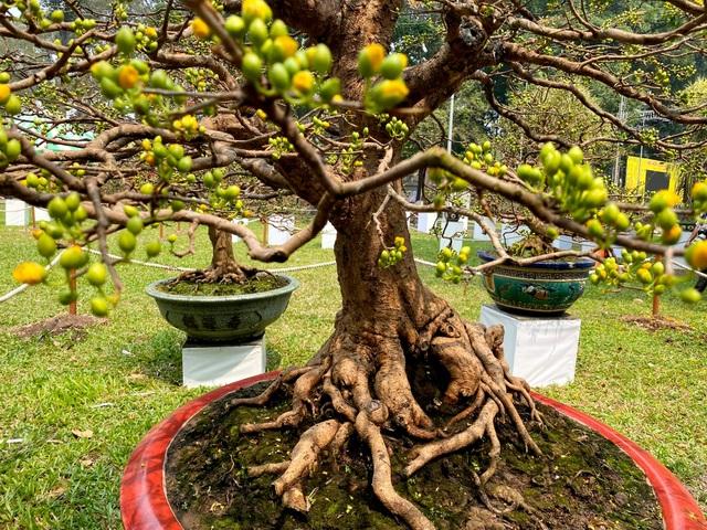 TP.HCM: Độc nhất vô nhị cây mai nở cùng lúc hai màu hoa trắng và vàng - 8