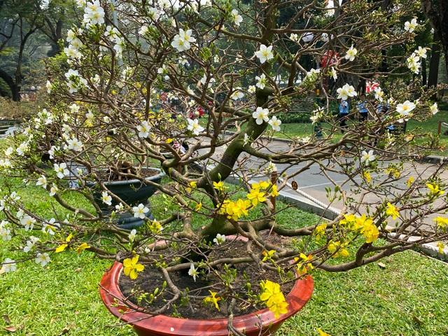 TP.HCM: Độc nhất vô nhị cây mai nở cùng lúc hai màu hoa trắng và vàng - 1