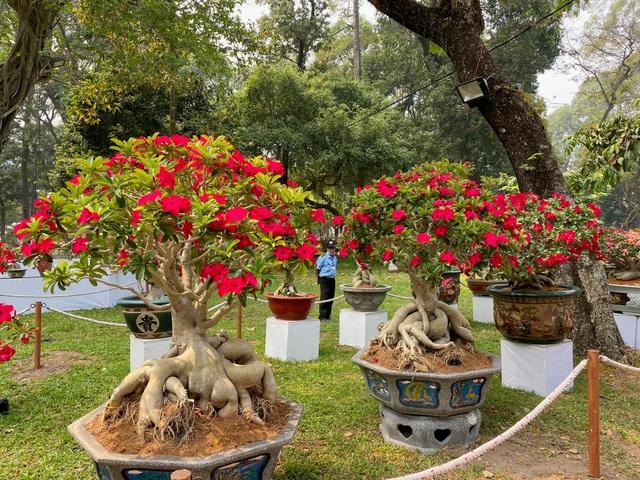 TP.HCM: Độc nhất vô nhị cây mai nở cùng lúc hai màu hoa trắng và vàng - 10