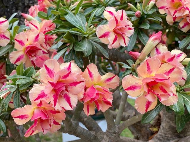 TP.HCM: Độc nhất vô nhị cây mai nở cùng lúc hai màu hoa trắng và vàng - 12
