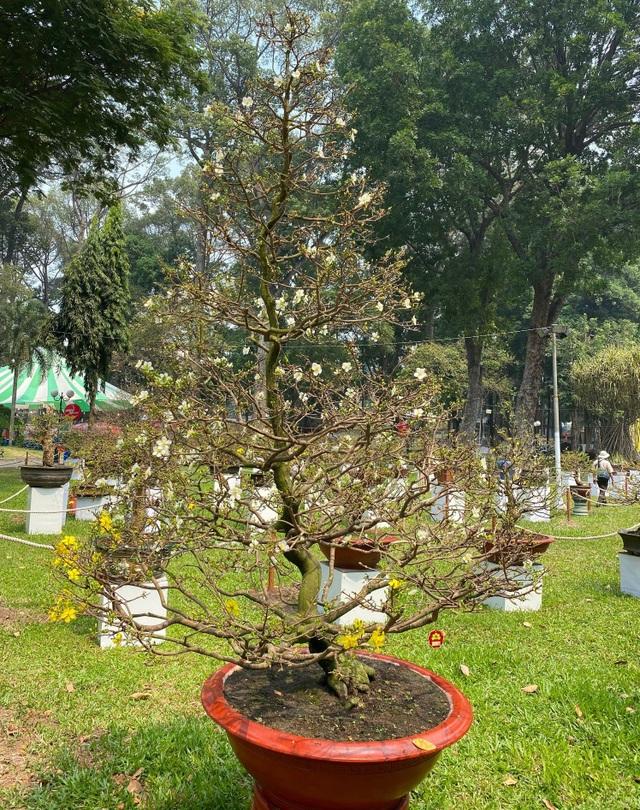 TP.HCM: Độc nhất vô nhị cây mai nở cùng lúc hai màu hoa trắng và vàng - 2