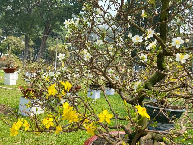 TP.HCM: Độc nhất vô nhị cây mai nở cùng lúc hai màu hoa trắng và vàng - 3