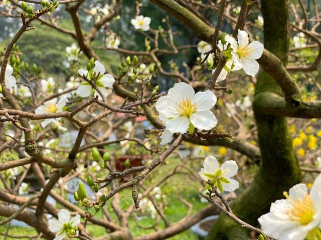 TP.HCM: Độc nhất vô nhị cây mai nở cùng lúc hai màu hoa trắng và vàng - 4