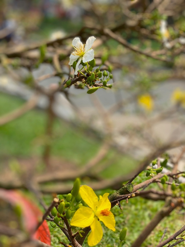 TP.HCM: Độc nhất vô nhị cây mai nở cùng lúc hai màu hoa trắng và vàng - 5