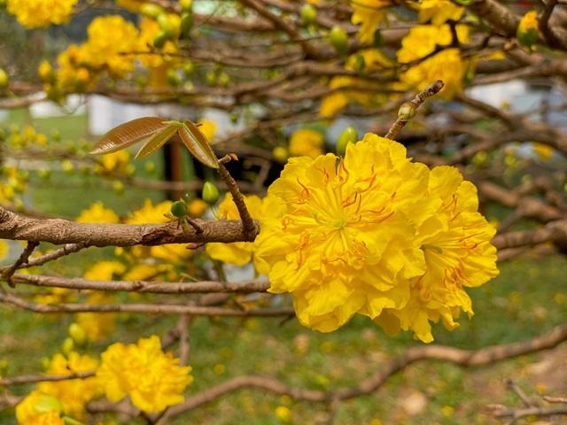 TP.HCM: Độc nhất vô nhị cây mai nở cùng lúc hai màu hoa trắng và vàng - 7