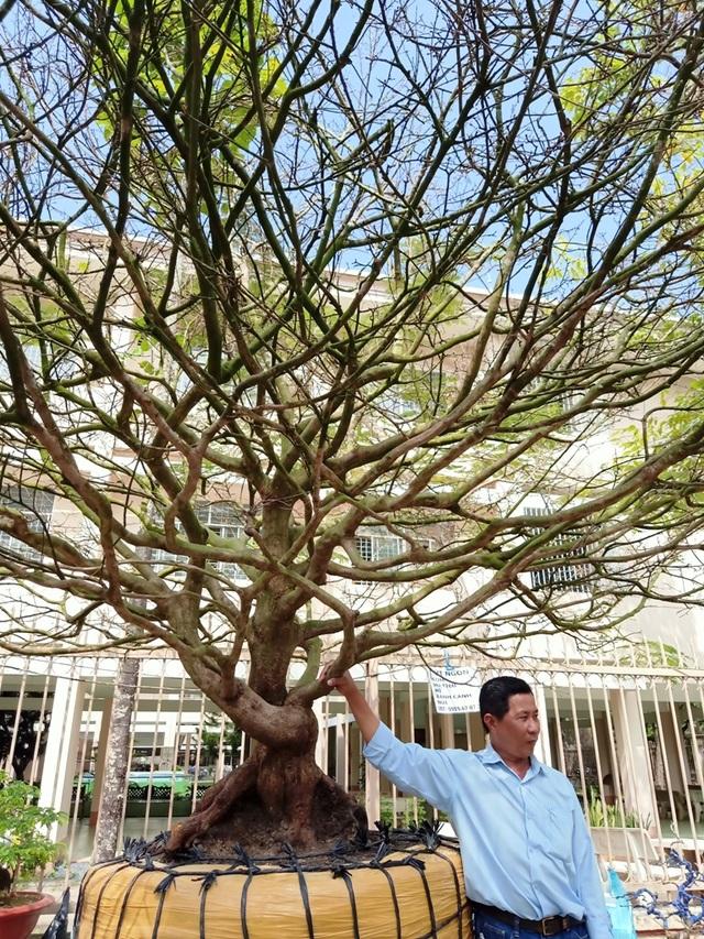 Hoa mắt với cây mai có tán rộng hơn căn nhà 6m, giá 1 tỷ đồng - 8