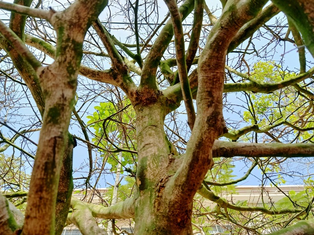 Hoa mắt với cây mai có tán rộng hơn căn nhà 6m, giá 1 tỷ đồng - 4