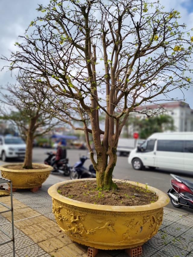 Chiêm ngưỡng hàng mai cổ thụ tại chợ hoa Tết Đà Nẵng - 8