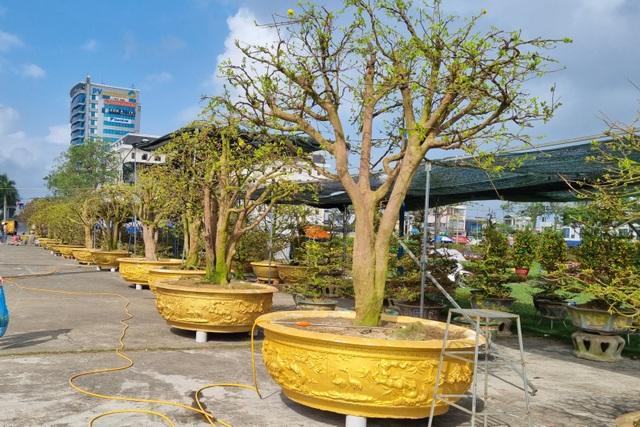 Chiêm ngưỡng hàng mai cổ thụ tại chợ hoa Tết Đà Nẵng - 6