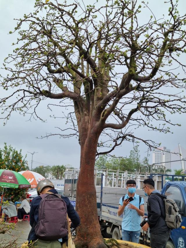 Chiêm ngưỡng hàng mai cổ thụ tại chợ hoa Tết Đà Nẵng - 7
