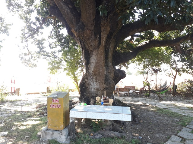 An old mango for 300 years in the land of Prince Bac Lieu 5 people hugging the tree's trunk not all - 7