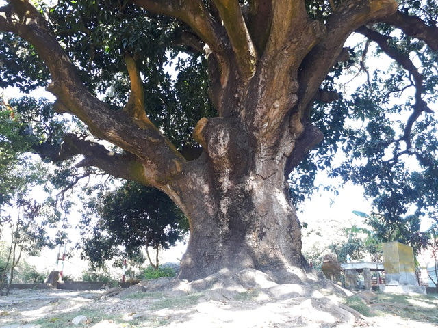 An old mango for 300 years in the land of Prince Bac Lieu 5 people hugged the tree's trunk not all - 1