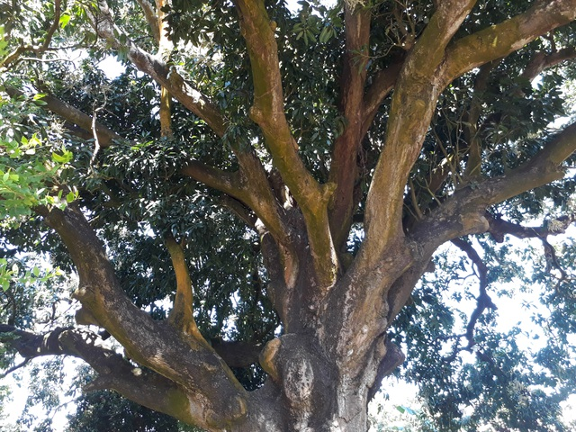 An old mango for 300 years in the land of Prince Bac Lieu 5 people hugging the tree's trunk not all - 5