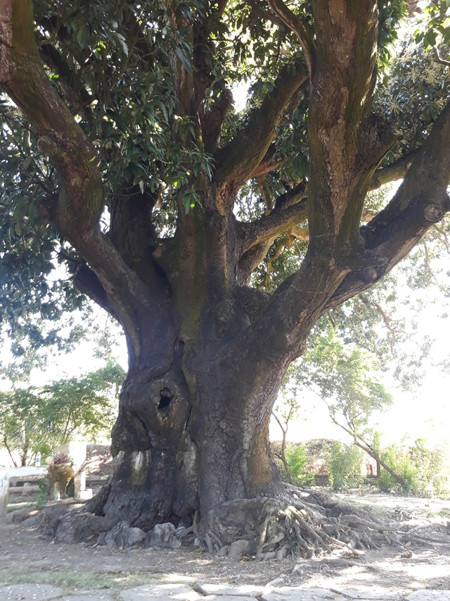 An old mango for 300 years in the land of Prince Bac Lieu 5 people hugging the tree's trunk not all - 3