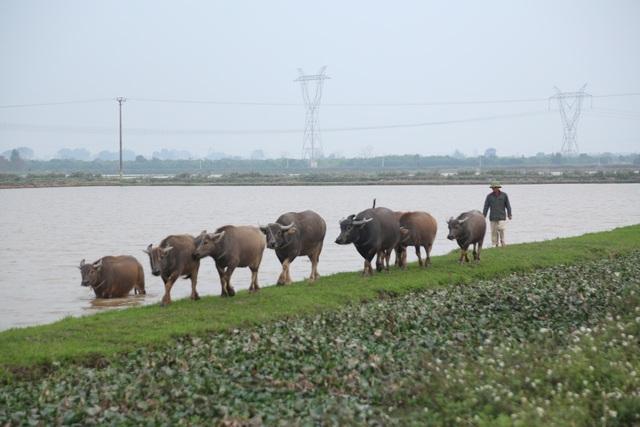 Thợ chăn trâu thịt, 365 ngày/năm đều ở ngoài đồng... - 4