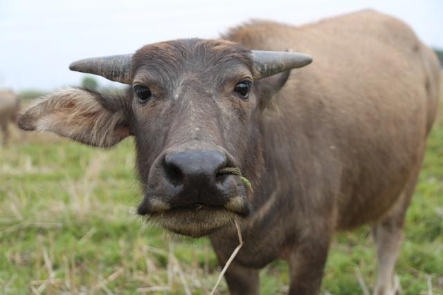 Thợ chăn trâu thịt, 365 ngày/năm đều ở ngoài đồng... - 6
