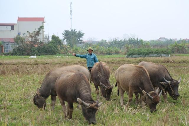 Thợ chăn trâu thịt, 365 ngày/năm đều ở ngoài đồng... - 2