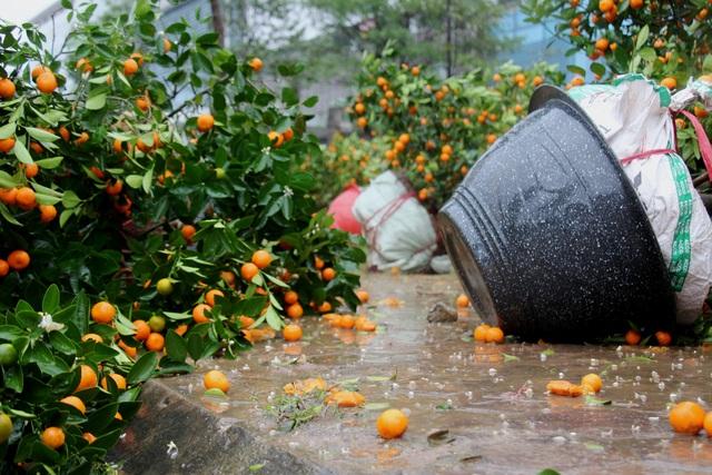 Mưa giông lớn quật đổ hàng trăm chậu quất, đào ở chợ hoa Tết - 3