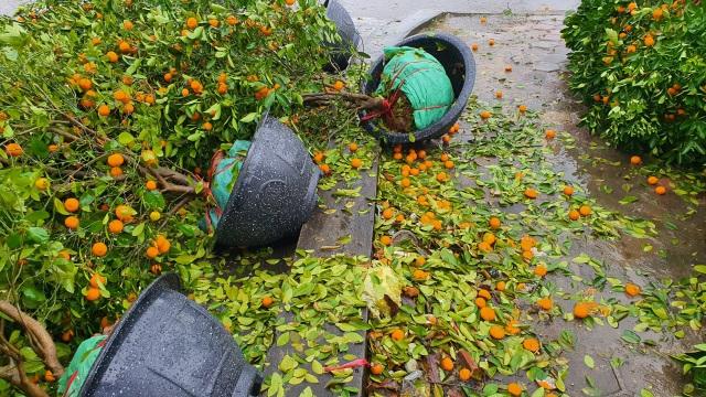 Mưa giông lớn quật đổ hàng trăm chậu quất, đào ở chợ hoa Tết - 11